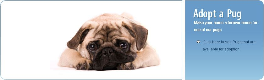 Pug Rescue Dogs For Adoption