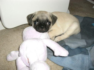 Pugnacious at 11 Weeks