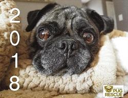 Colorado Pug Rescue - Improving the lives of homeless pug dogs